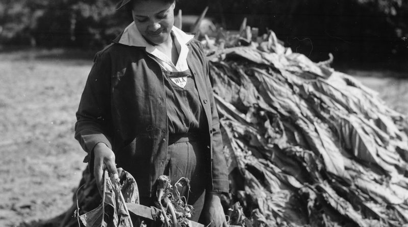 WLA Woman Helps Harvest Tobacco on Husband's Farm