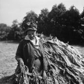 WLA Woman Helps Harvest Tobacco on Husband's Farm